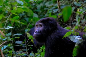 Mountain Gorilla Uganda Development Together Volunteering